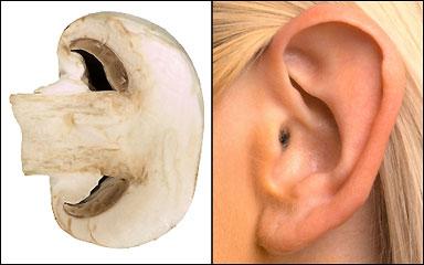 פטרייה והאוזן