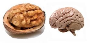 אגוזים והמוח