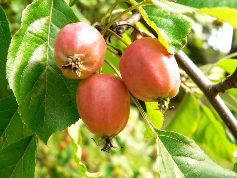 wild_apple_(malus_sylvestris)2